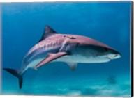Tiger Shark Fine-Art Print