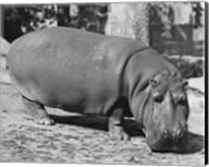 Hippopotamus Black and White Fine-Art Print