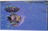 High angle view of an American alligator swimming in a pond Fine-Art Print