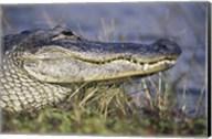 Alligator - photo Fine-Art Print