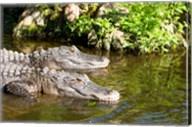 American alligators in a pond, Florida, USA Fine-Art Print