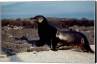 Galapagos Sea Lion Galapagos Islands Ecuador Fine-Art Print