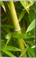 Close-up of a bamboo shoot with bamboo leaves Fine-Art Print