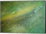 Madison River Brown Trout Fine-Art Print