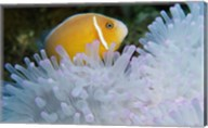 A Clown Fish, Nananu-I-Ra Island, Fiji Fine-Art Print