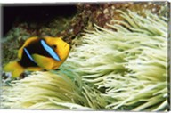 Close-up of a Two-banded Clown fish swimming underwater, Nananu-I-Ra Island, Fiji Fine-Art Print