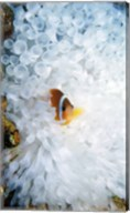 High angle view of a clown fish hiding in a sea anemone, Nananu-i-Ra island, Fiji Fine-Art Print