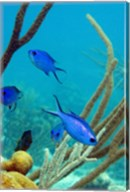 Blue Chromis Fish Fine-Art Print