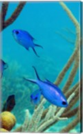 Blue Chromis Fish Fine-Art Print