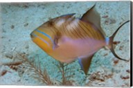 Queen Triggerfish Fine-Art Print