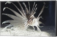 Red Lionfish swimming underwater Fine-Art Print