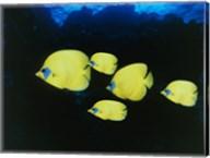Close-up of five Lemon Butterflyfish swimming underwater Fine-Art Print