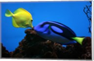 Yellow Tang and Blue Tang Fine-Art Print