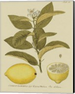 Antique Lemon Fine-Art Print