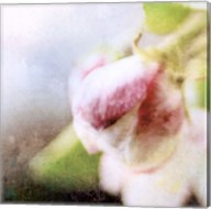 Apple Blossom II Fine-Art Print