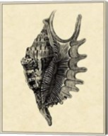 Vintage Shell III Fine-Art Print