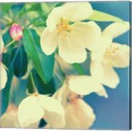 Natures Apple Blossom Fine-Art Print