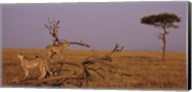 View of two Cheetahs in the wild, Africa Fine-Art Print