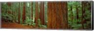 Redwoods tree in a forest, Whakarewarewa Forest, Rotorua, North Island, New Zealand Fine-Art Print