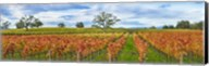 Autumn color vineyards, Guerneville Road, Sonoma County, California, USA Fine-Art Print