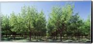 USA, New Mexico, Tularosa, pecan trees Fine-Art Print