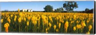 Bulbinella nutans flowers in a field, Northern Cape Province, South Africa Fine-Art Print