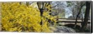 Forsythia in bloom, Central Park, Manhattan, New York City, New York State, USA Fine-Art Print