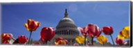 Tulips with a government building in the background, Capitol Building, Washington DC, USA Fine-Art Print