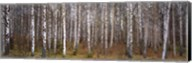 Silver birch trees in a forest, Narke, Sweden Fine-Art Print