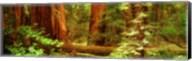 Muir Woods, Trees, National Park, Redwoods, California Fine-Art Print