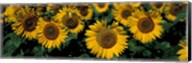 Sunflowers ND USA Fine-Art Print
