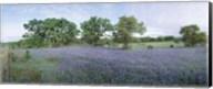 Field of Bluebonnet flowers, Texas, USA Fine-Art Print