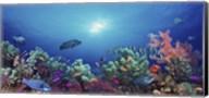 School of fish swimming near a reef, Indo-Pacific Ocean Fine-Art Print