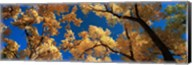 Low angle view of cottonwood tree, Canyon De Chelly, Arizona, USA Fine-Art Print