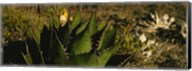 Close-up of an aloe vera plant, Baja California, Mexico Fine-Art Print