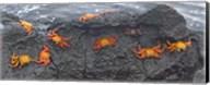 High angle view of Sally Lightfoot crabs (Grapsus grapsus) on a rock, Galapagos Islands, Ecuador Fine-Art Print