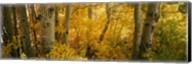 Aspen trees in a forest, Californian Sierra Nevada, California, USA Fine-Art Print