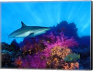 Caribbean Reef shark (Carcharhinus perezi) and Soft corals in the ocean Fine-Art Print