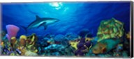 Caribbean Reef shark (Carcharhinus perezi) Rainbow Parrotfish (Scarus guacamaia) in the sea Fine-Art Print