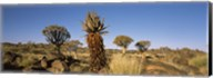 Different Aloe species growing amongst the rocks at the Quiver tree (Aloe dichotoma) forest, Namibia Fine-Art Print