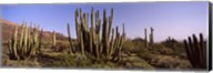 Organ Pipe Cacti on a Landscape, Organ Pipe Cactus National Monument, Arizona, USA Fine-Art Print