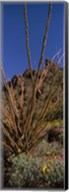 Plants on a landscape, Organ Pipe Cactus National Monument, Arizona (vertical) Fine-Art Print