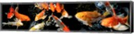 Koi Swimming Fine-Art Print