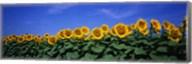 Field Of Sunflowers, Bogue, Kansas, USA Fine-Art Print