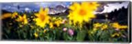 Daisies, Flowers, Field, Mountain Landscape, Snowy Mountain Range, Wyoming, USA, United States Fine-Art Print