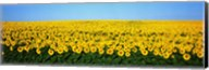 Sunflower Field, North Dakota, USA Fine-Art Print