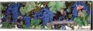 USA, California, Napa Valley, grapes Fine-Art Print