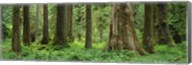 Trees in a rainforest, Hoh Rainforest, Olympic National Park, Washington State, USA Fine-Art Print