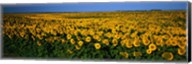 Field of Sunflowers ND USA Fine-Art Print
