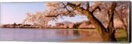 Cherry blossom tree along a lake, Potomac Park, Washington DC, USA Fine-Art Print